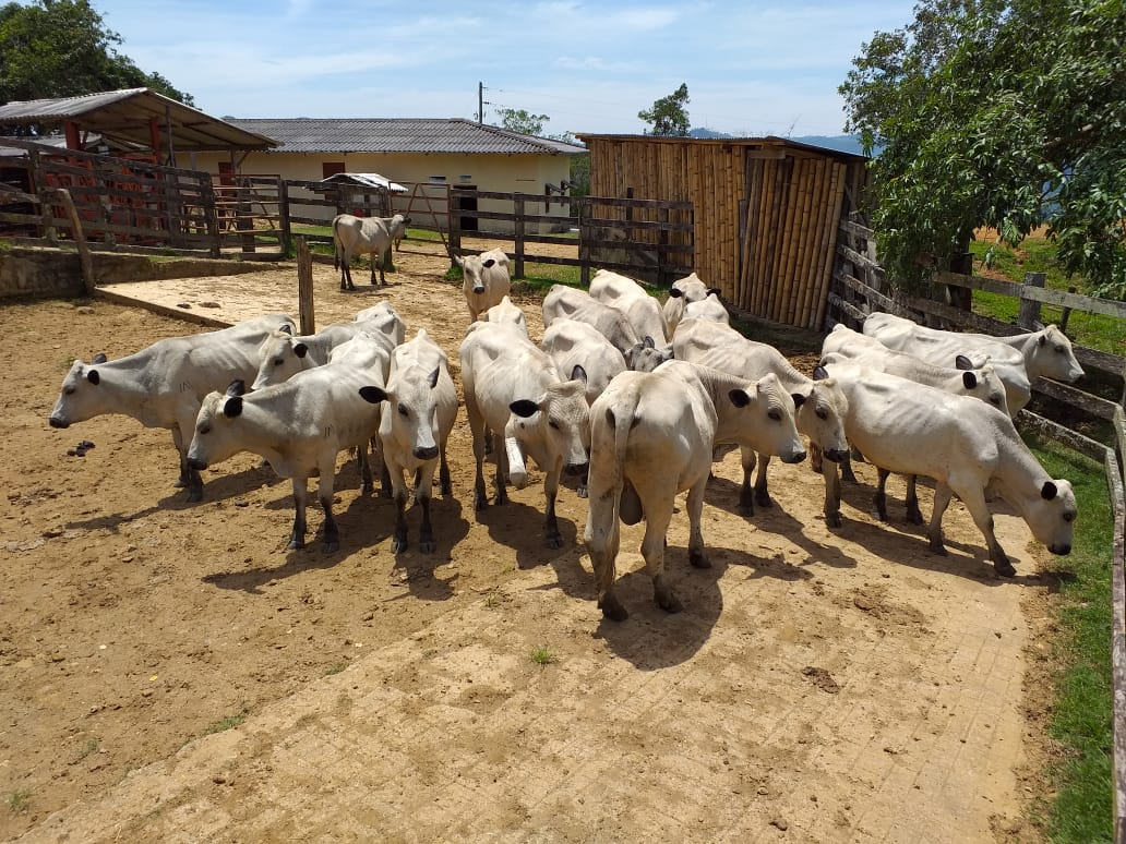 El Centro de Investigación El Nus oferta tres lotes de machos Blanco Orejinegro para ceba
