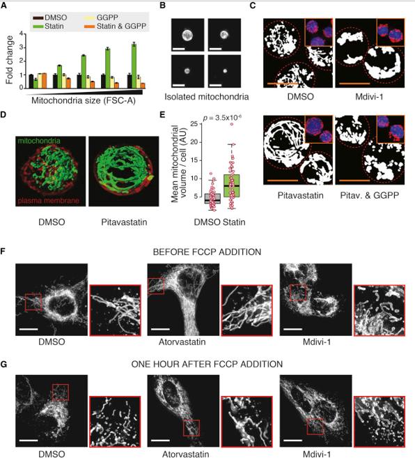 Develando detalles clave de los mecanismos de control del tamaño celular