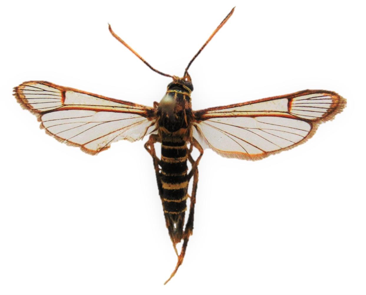 AGROSAVIA formula alternativas de control de insectos xilófagos en guayaba