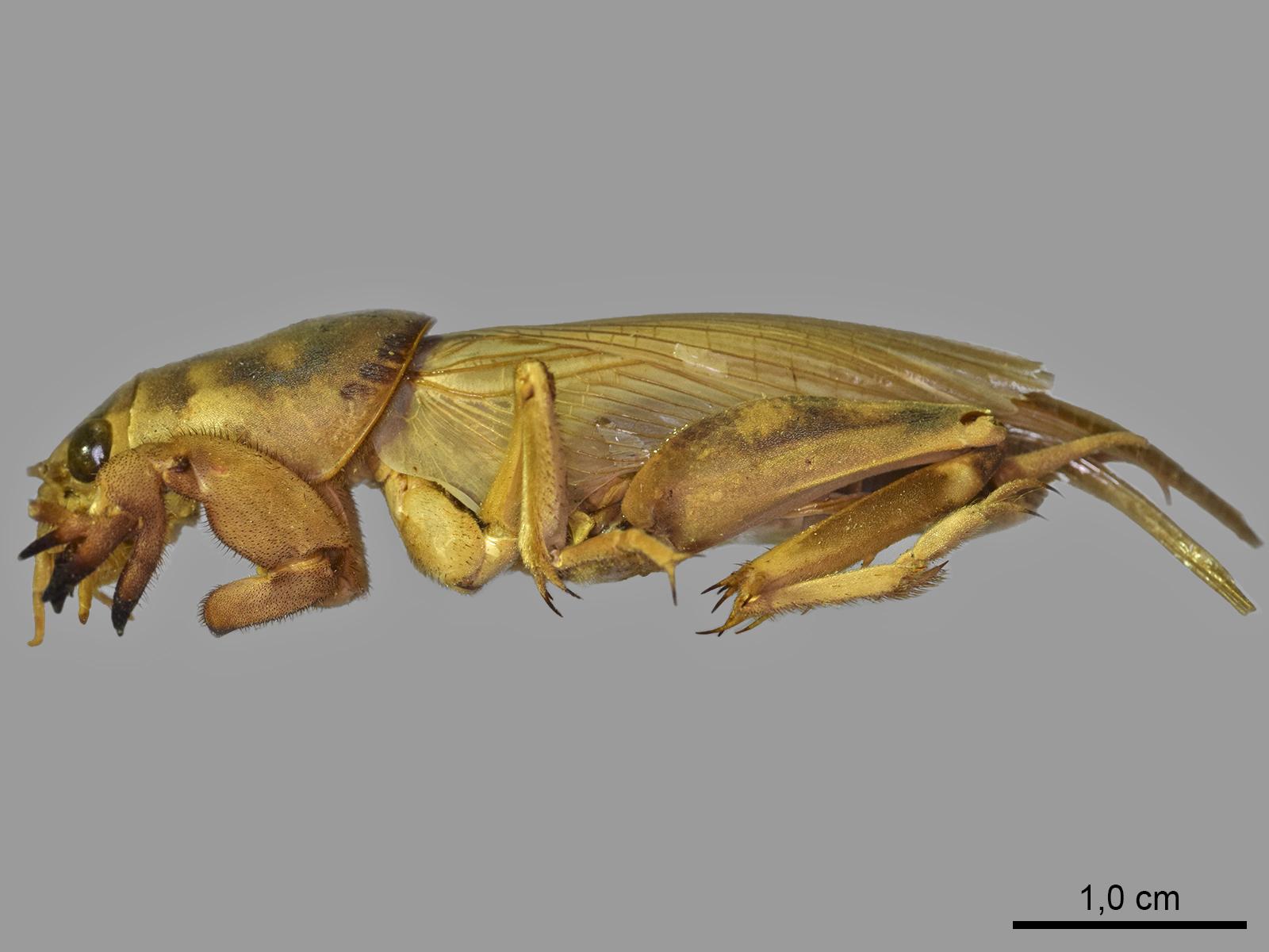 Scapteriscus oxydactylus (Perty, 1832)