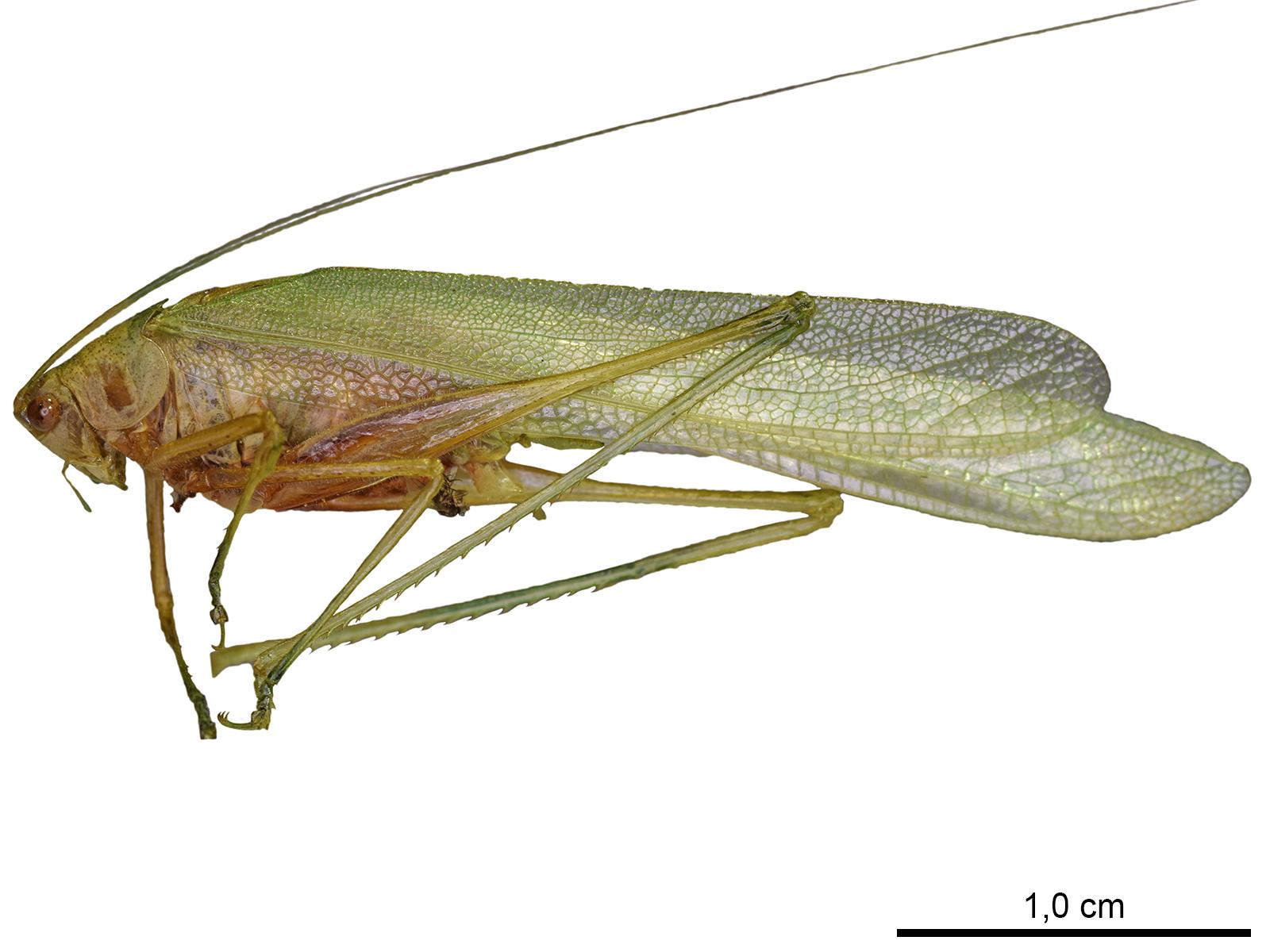 Anaulacomera lanceolata Brunner von Wattenwyl, 1878