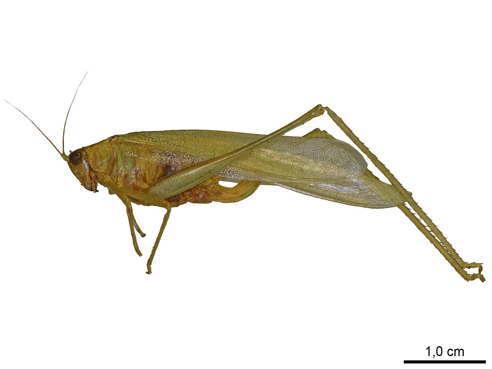 Ceraia hemidactyla (Rehr & Hebard, 1914)
