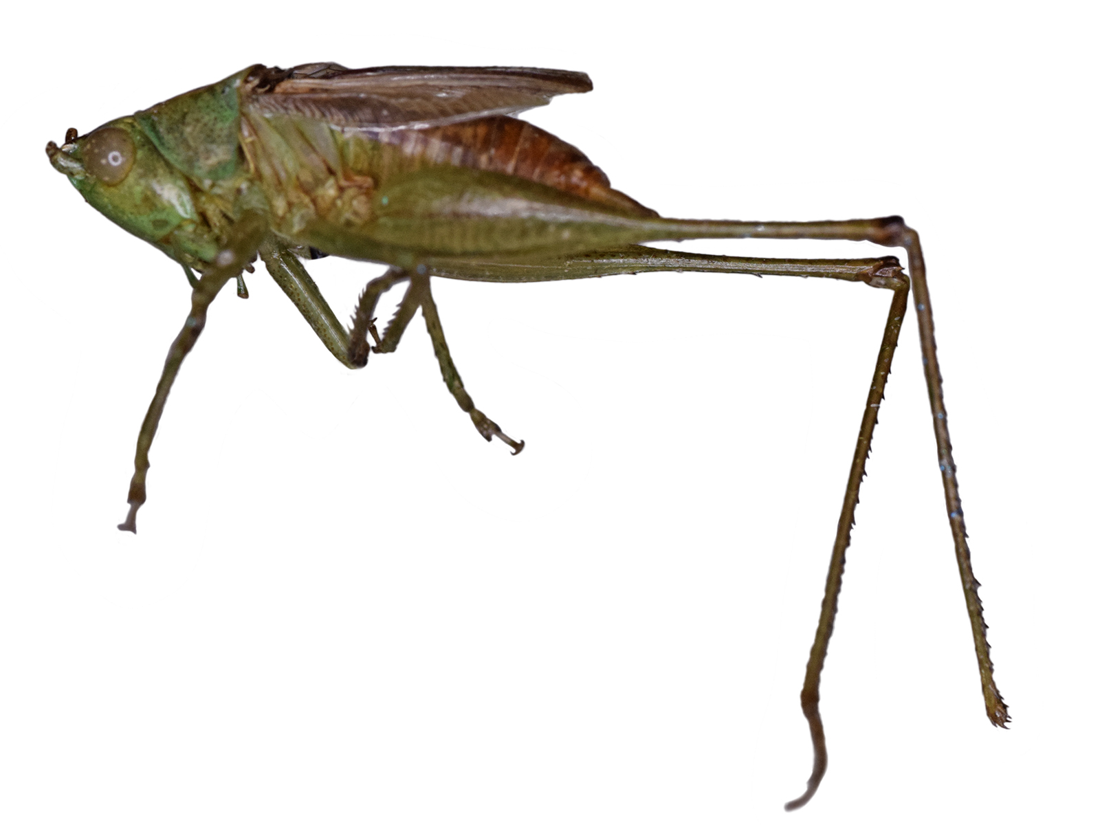 Conocephalus angustifrons (Redtenbacher, 1891)