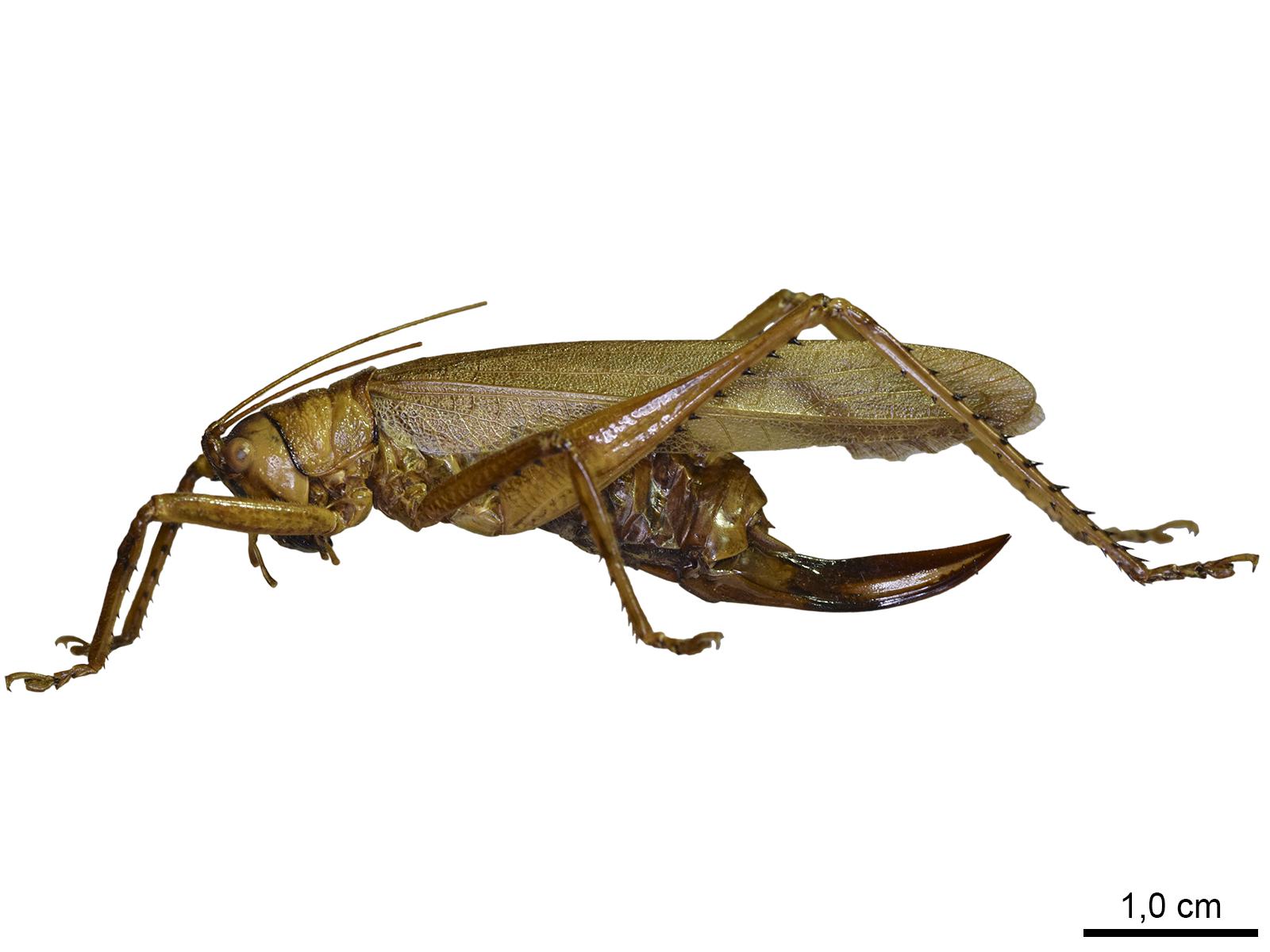Cocconotusdegeeri(Stål, 1861)