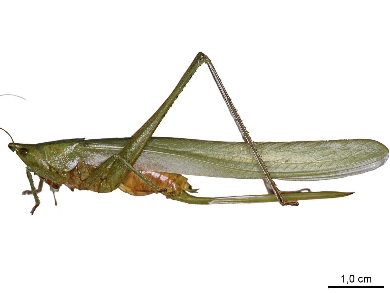 Neoconocephalus maxillosus (Fabricius, 1775)