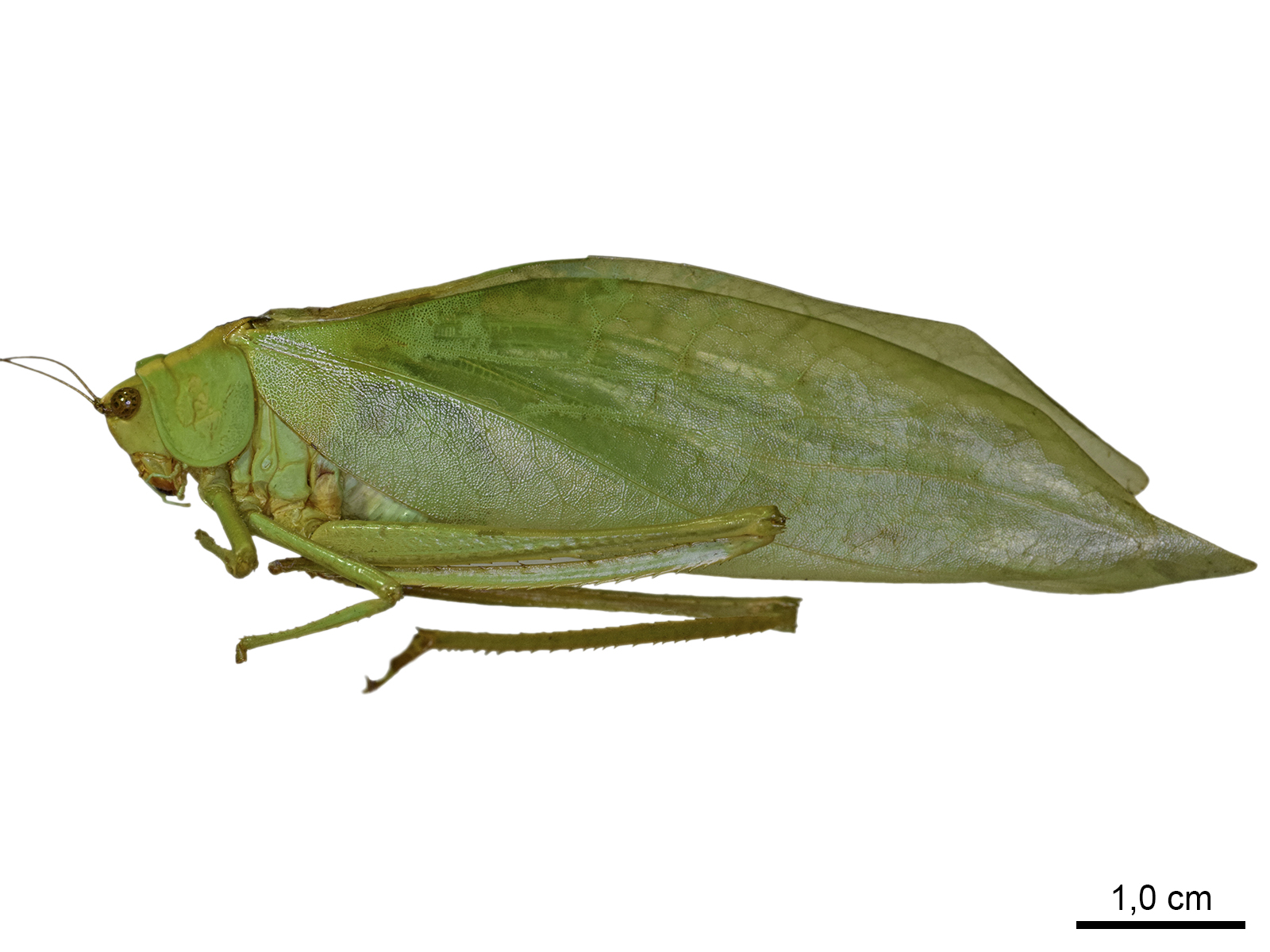 Stilpnochloramarginella(Serville, 1838)