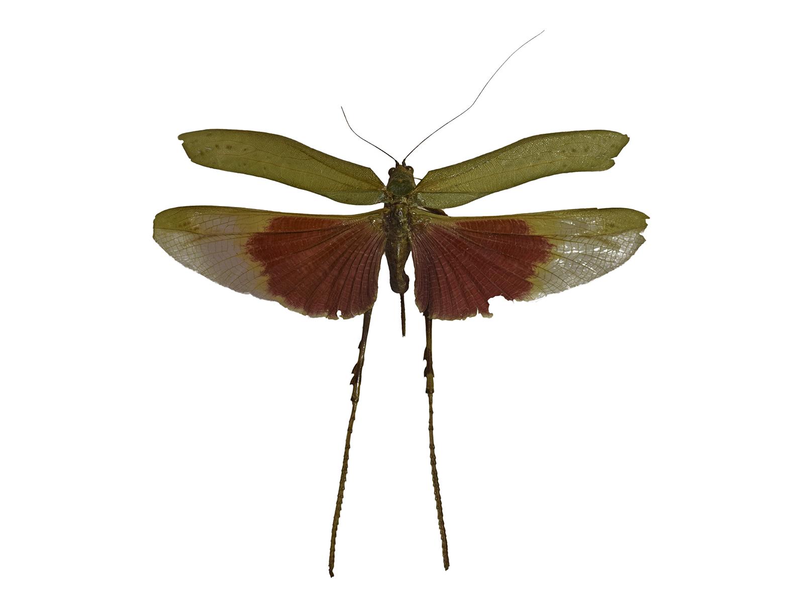 Vellea cruenta (Burmeister, 1858)