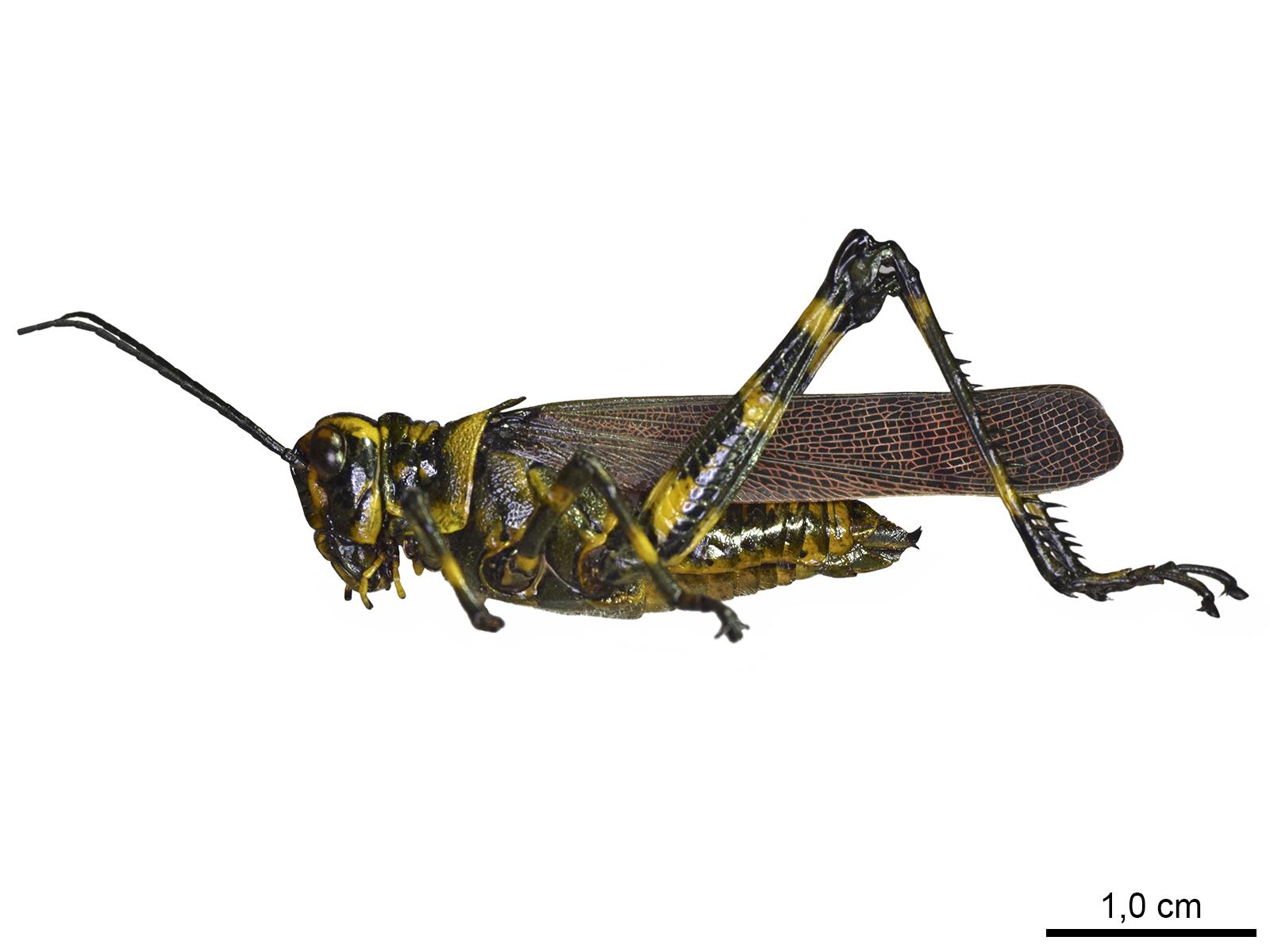 Chromacrisspeciosa(Thunberg, 1824)
