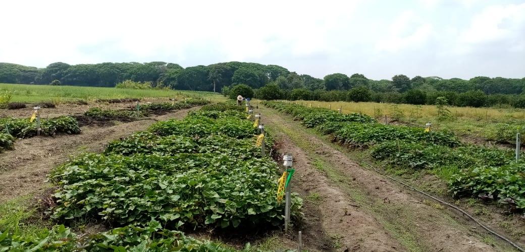 Avanza proyecto de investigación para registrar nueva variedad de batata para el Caribe colombiano