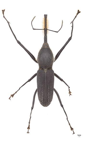 Rhinostomus Barbirostris 616