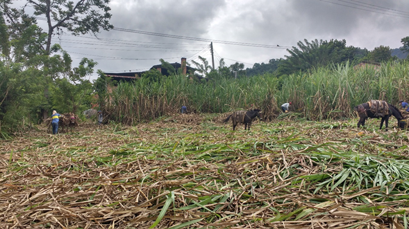 Investigadores de AGROSAVIA proponen generar biogás a partir de los residuos de la agroindustria panelera