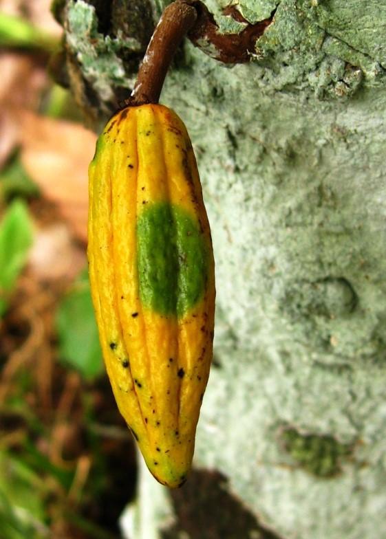 Esquema para el manejo integrado de la Moniliasis en Cacao