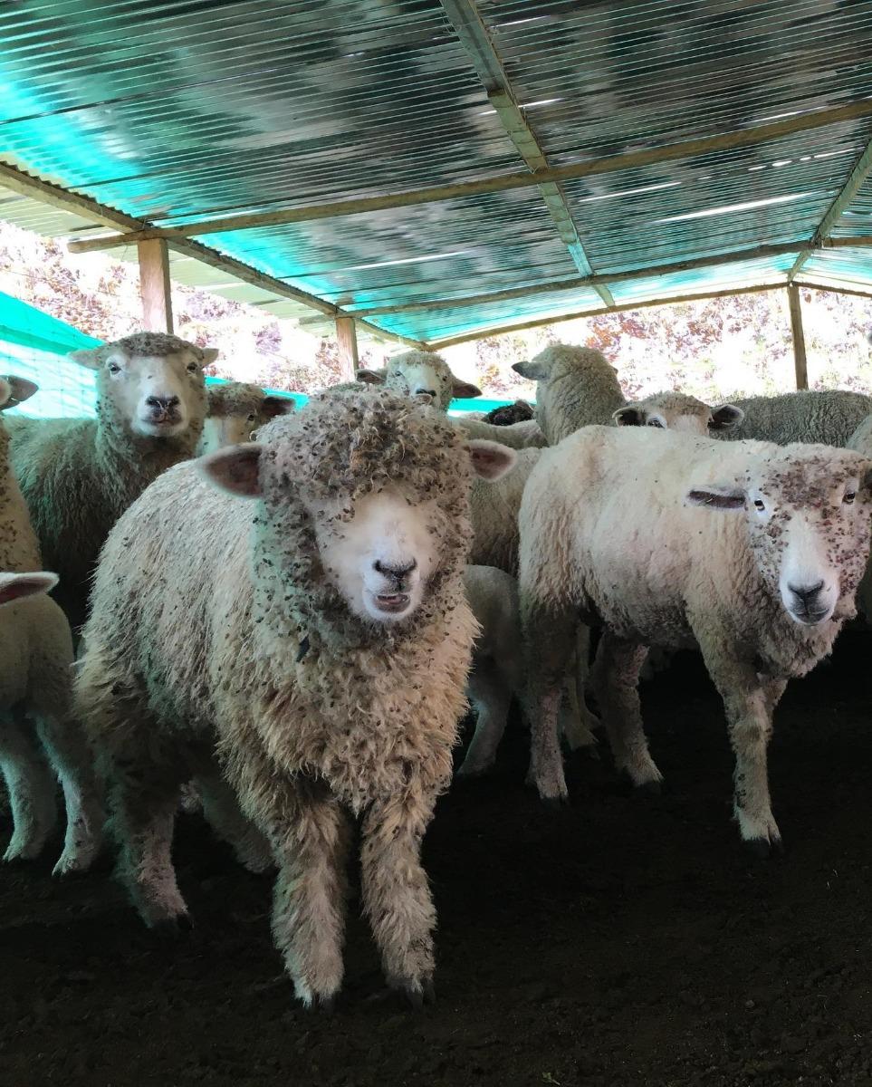 AGROSAVIA y Asoovinos fortalecen el mejoramiento genético de los ovinos