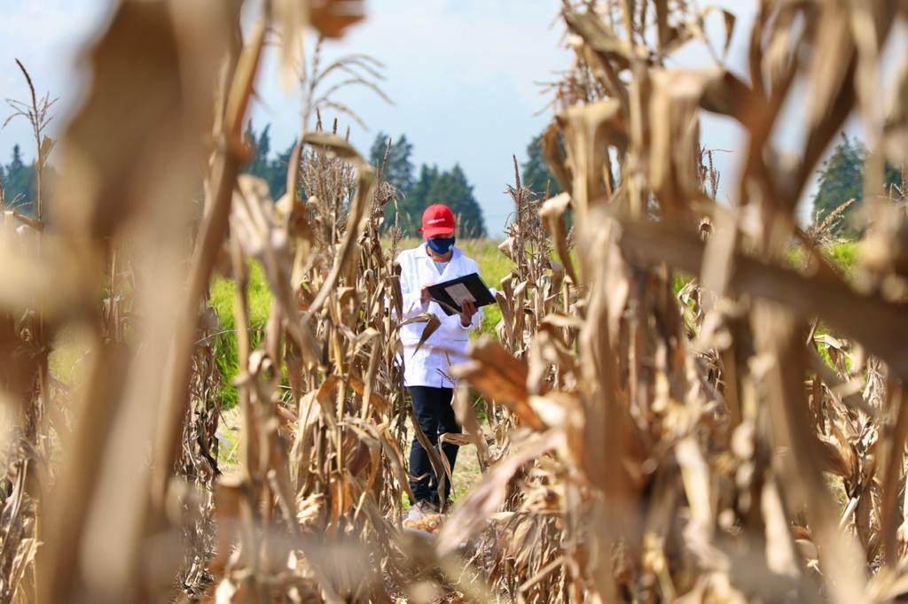 Con prometedores resultados avanza la identificación de materiales de maíz de trópico alto