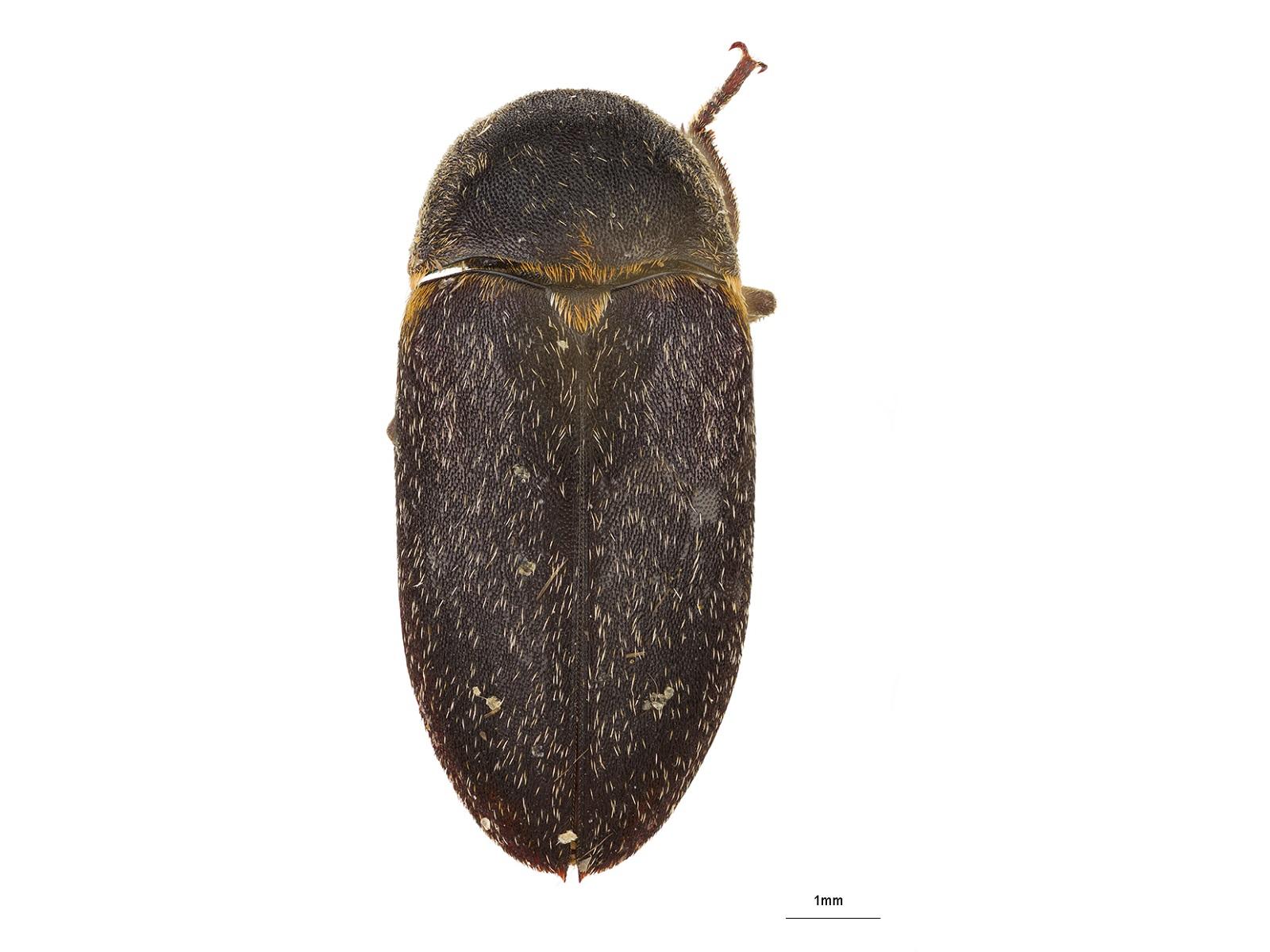 DermestesmaculatusDeGeer, 1774