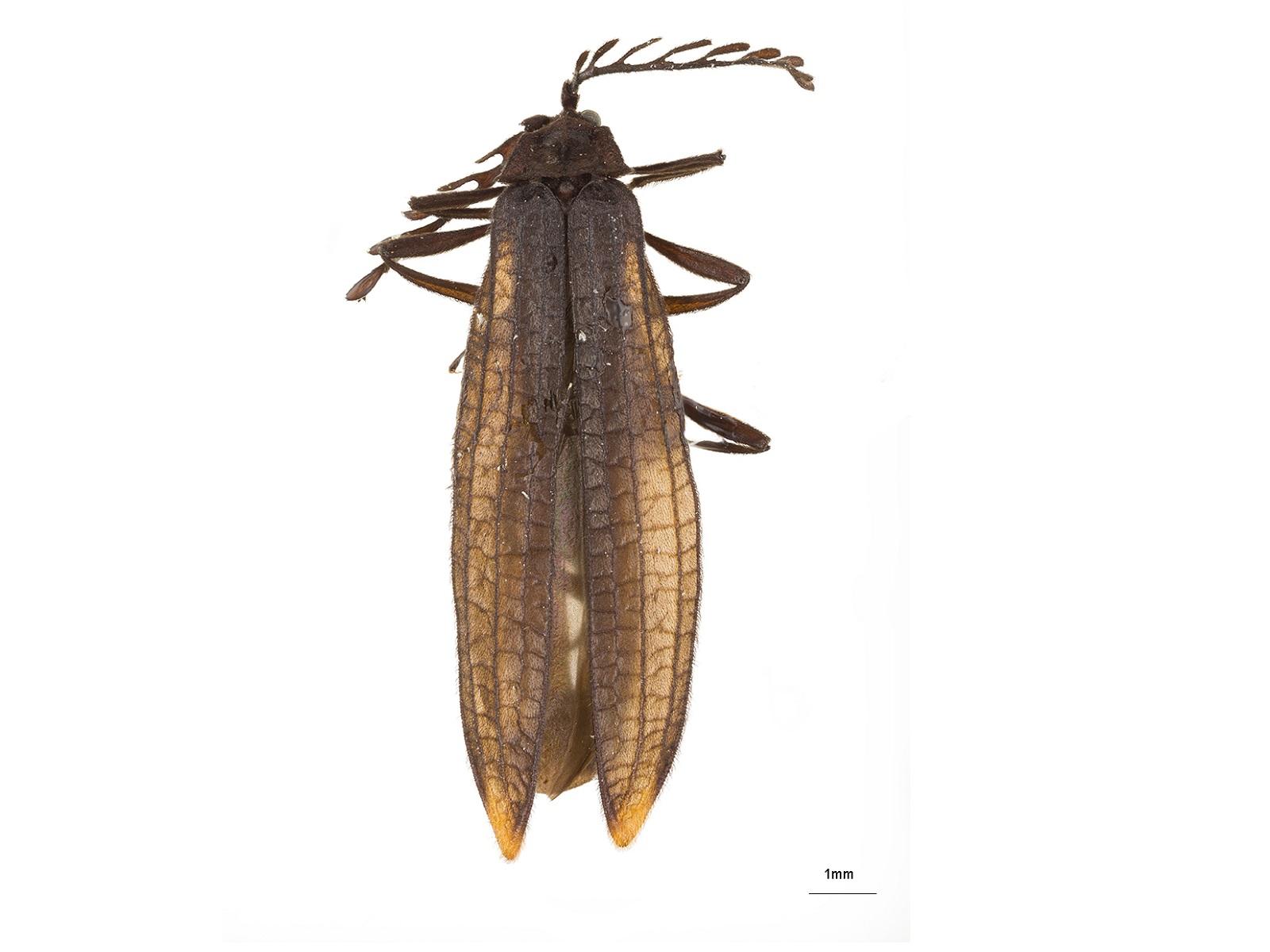 Idiopteron spp.