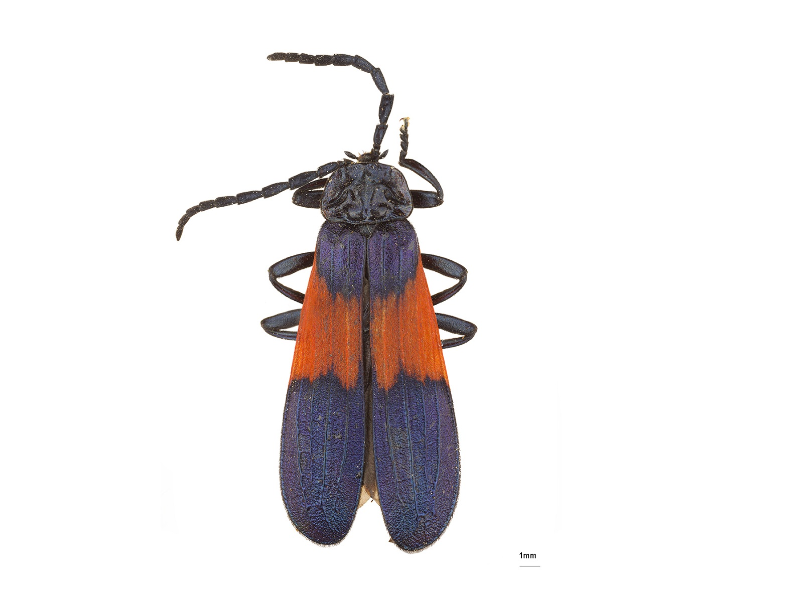 Macrolygistopterus spp.