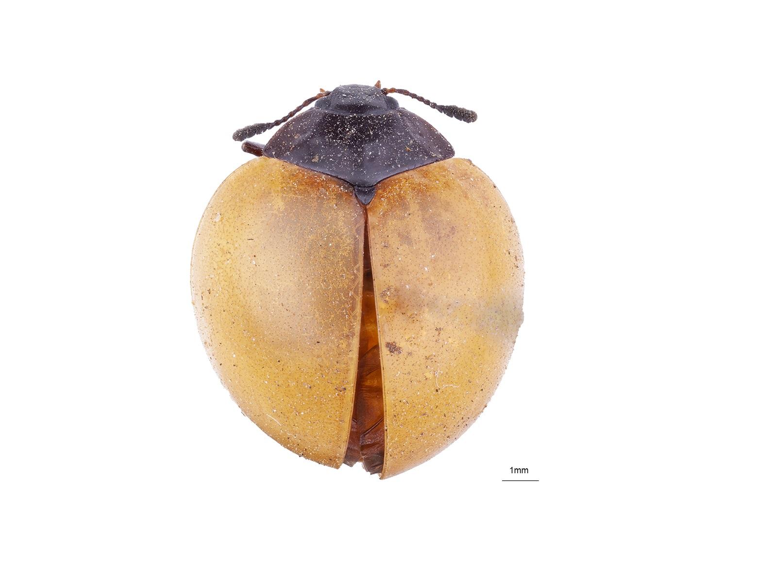 Aegithus clavicornis (Linnaeus, 1758)