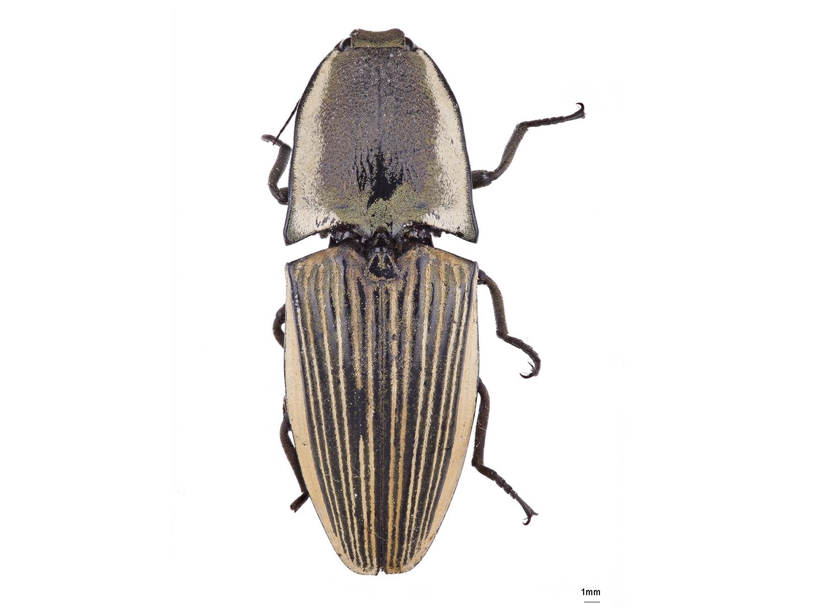 Chalcolepidius gossipiatus Guérin-Méneville, 1844