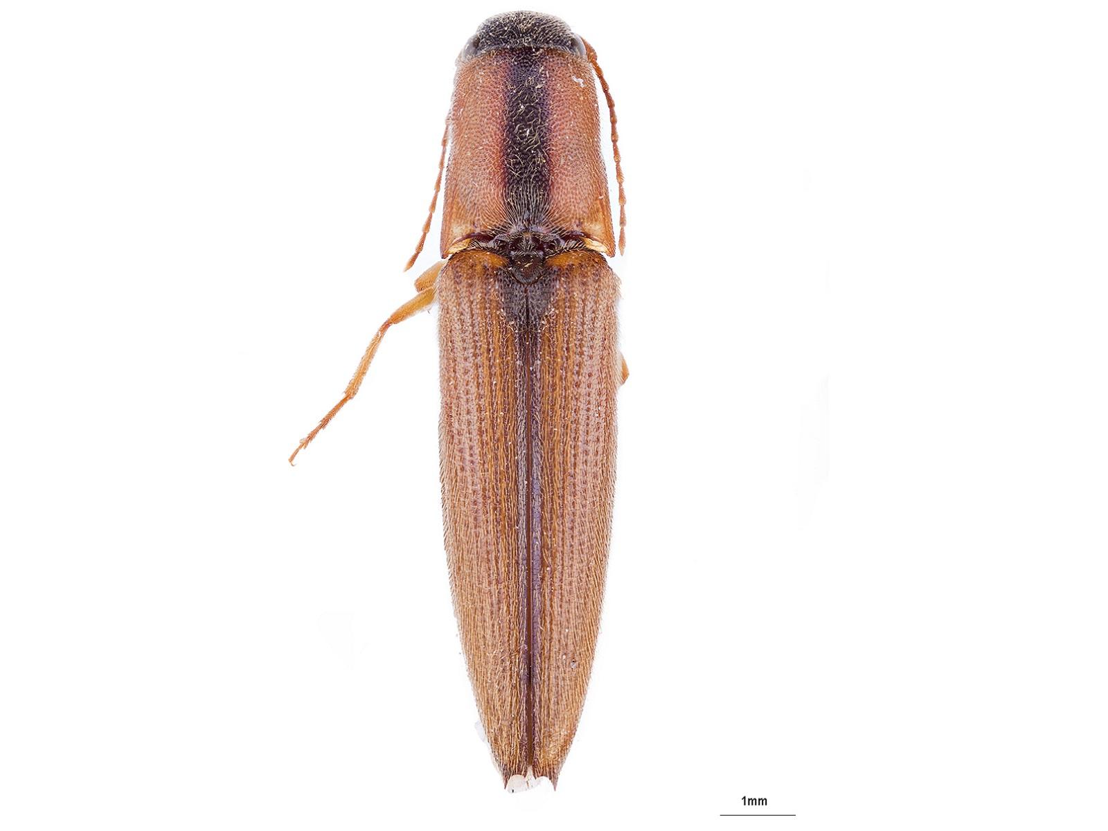 Pomachilius suturalisCandèze, 1860