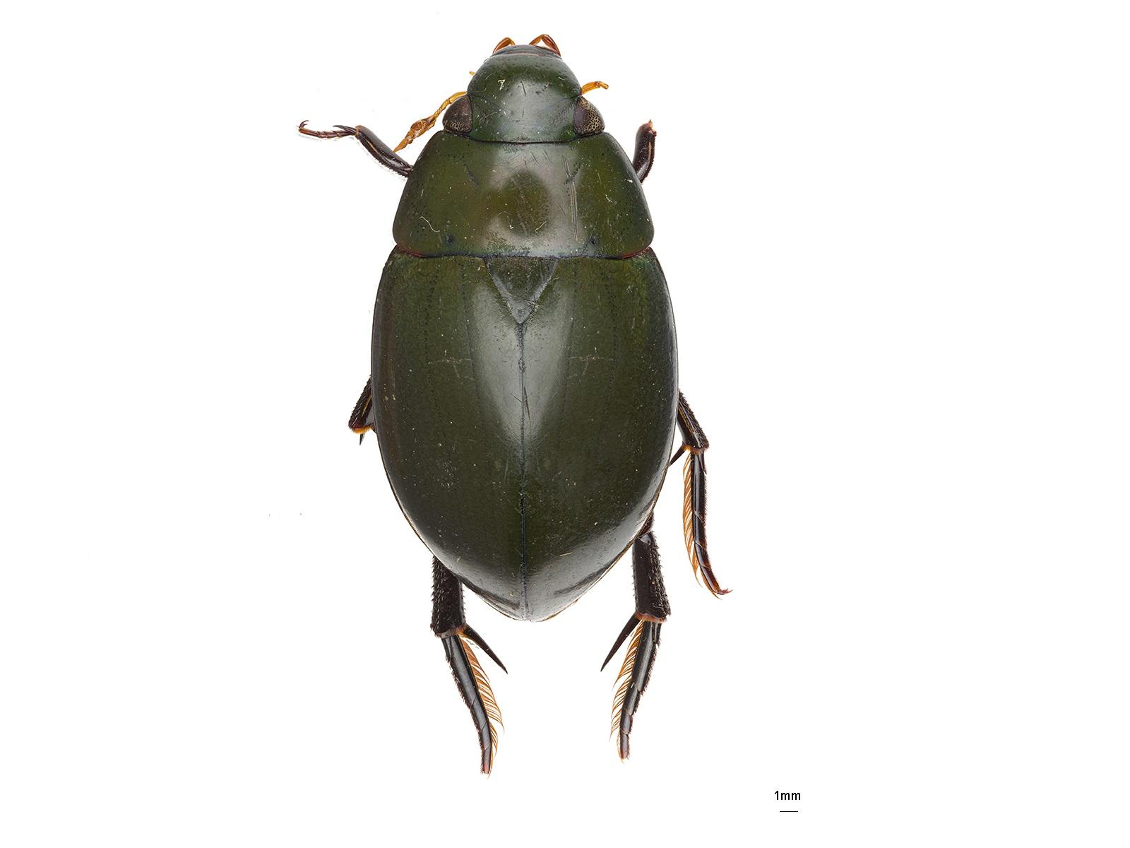 Hydrophilus smaragdinus Brullé, 1837