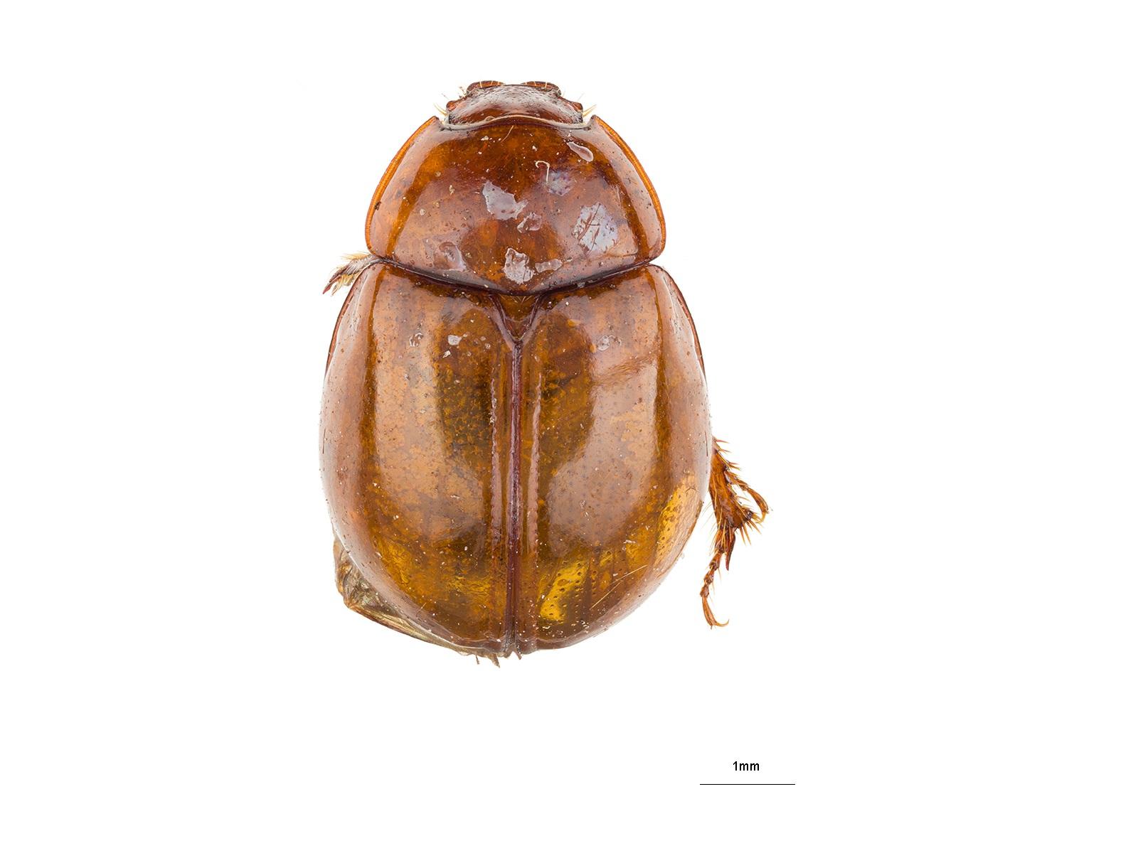 Coilodes castaneus Westwood, 1846