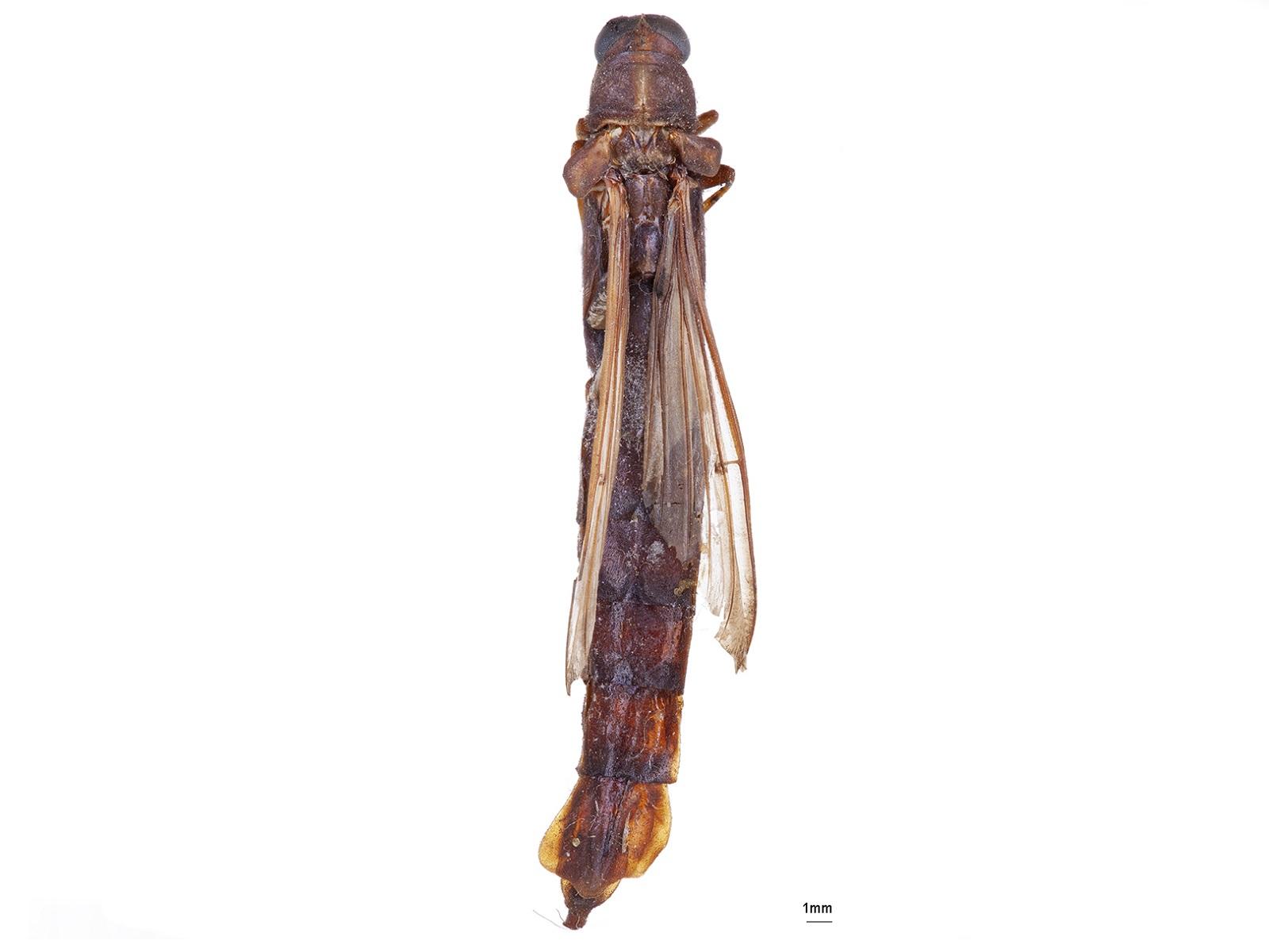 Atractocerus brasiliensis Lepeletier & Audinet-Serville, 1825