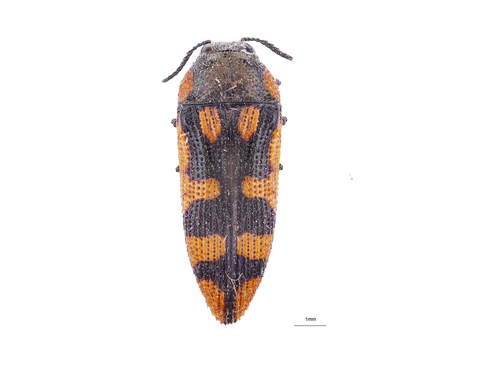 Acmaeodera xanthosticta Laporte & Gory, 1835