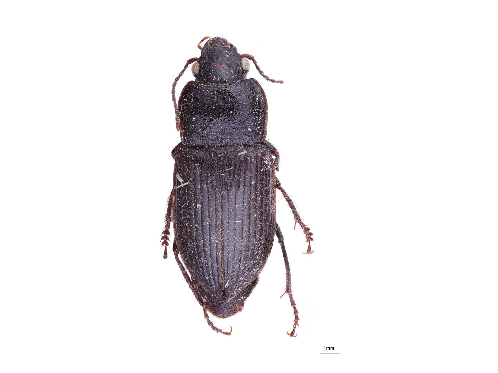 Anisodactylus signatus (Panzer, 1796)