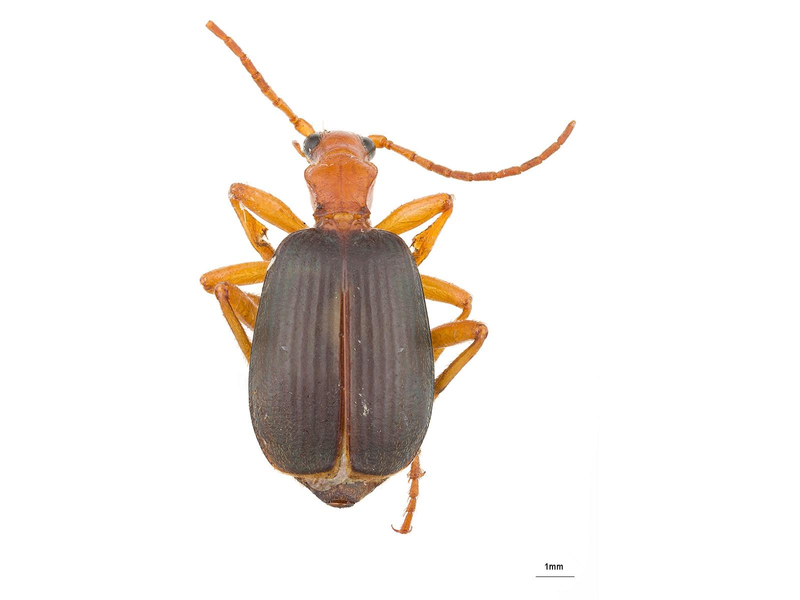 Brachinus spp.