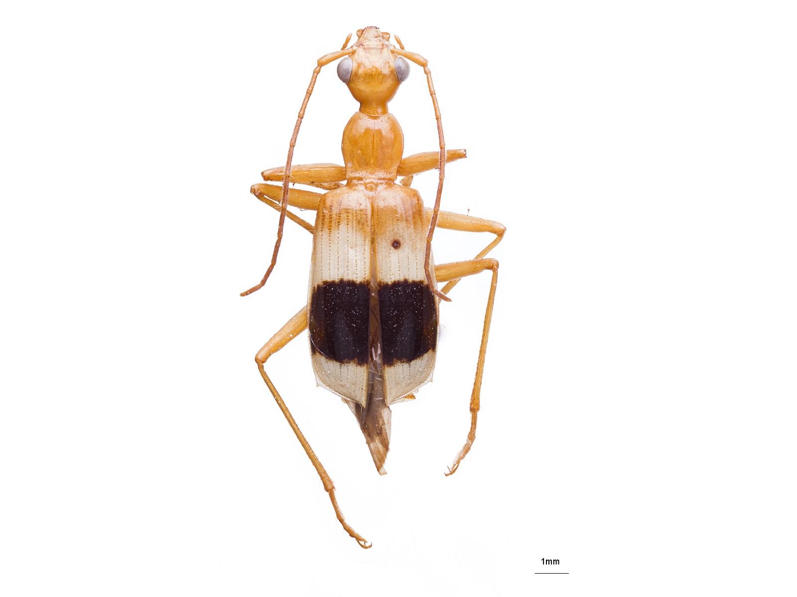 Calophaena sp.