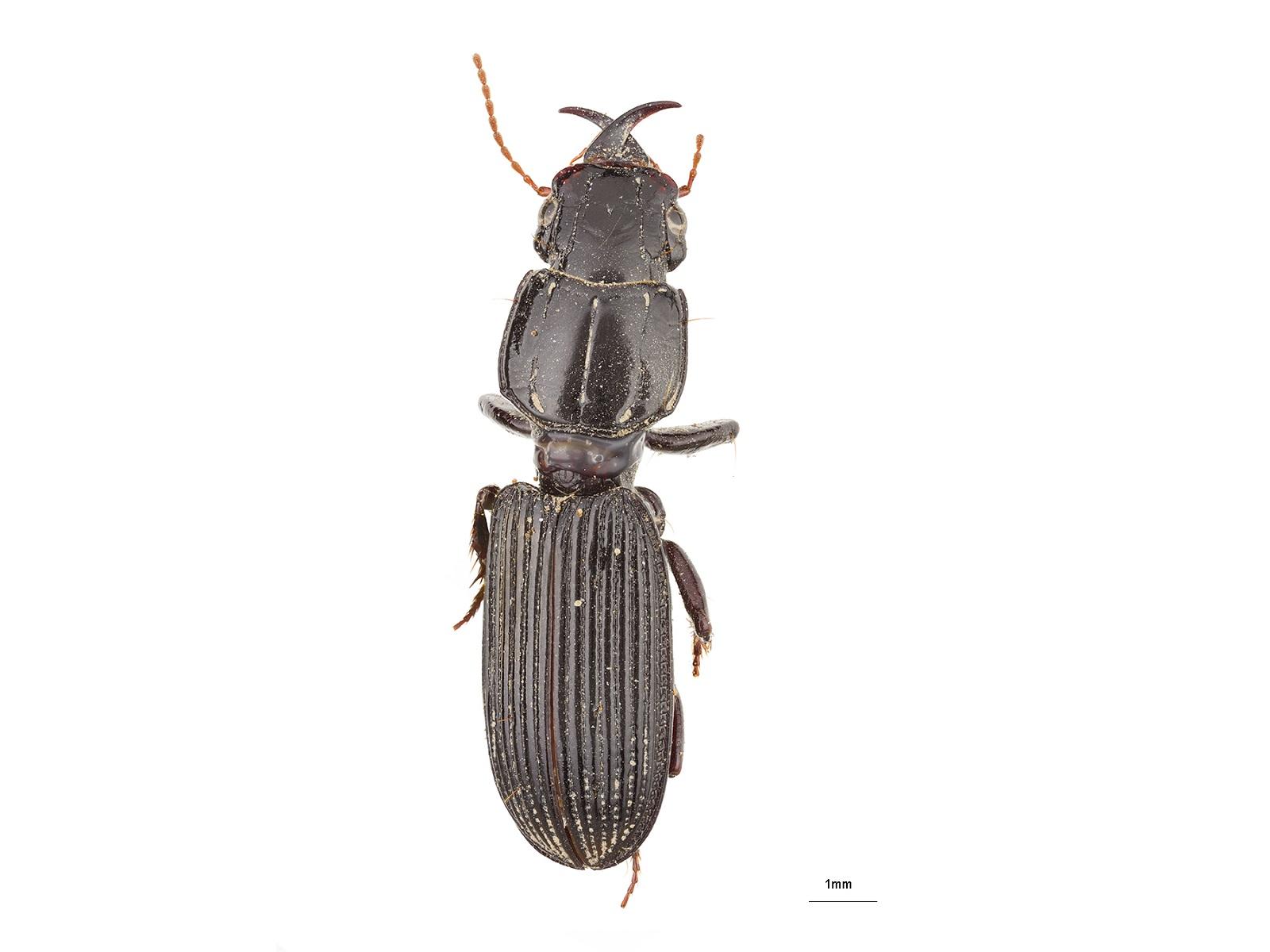 Camptodontus spp.