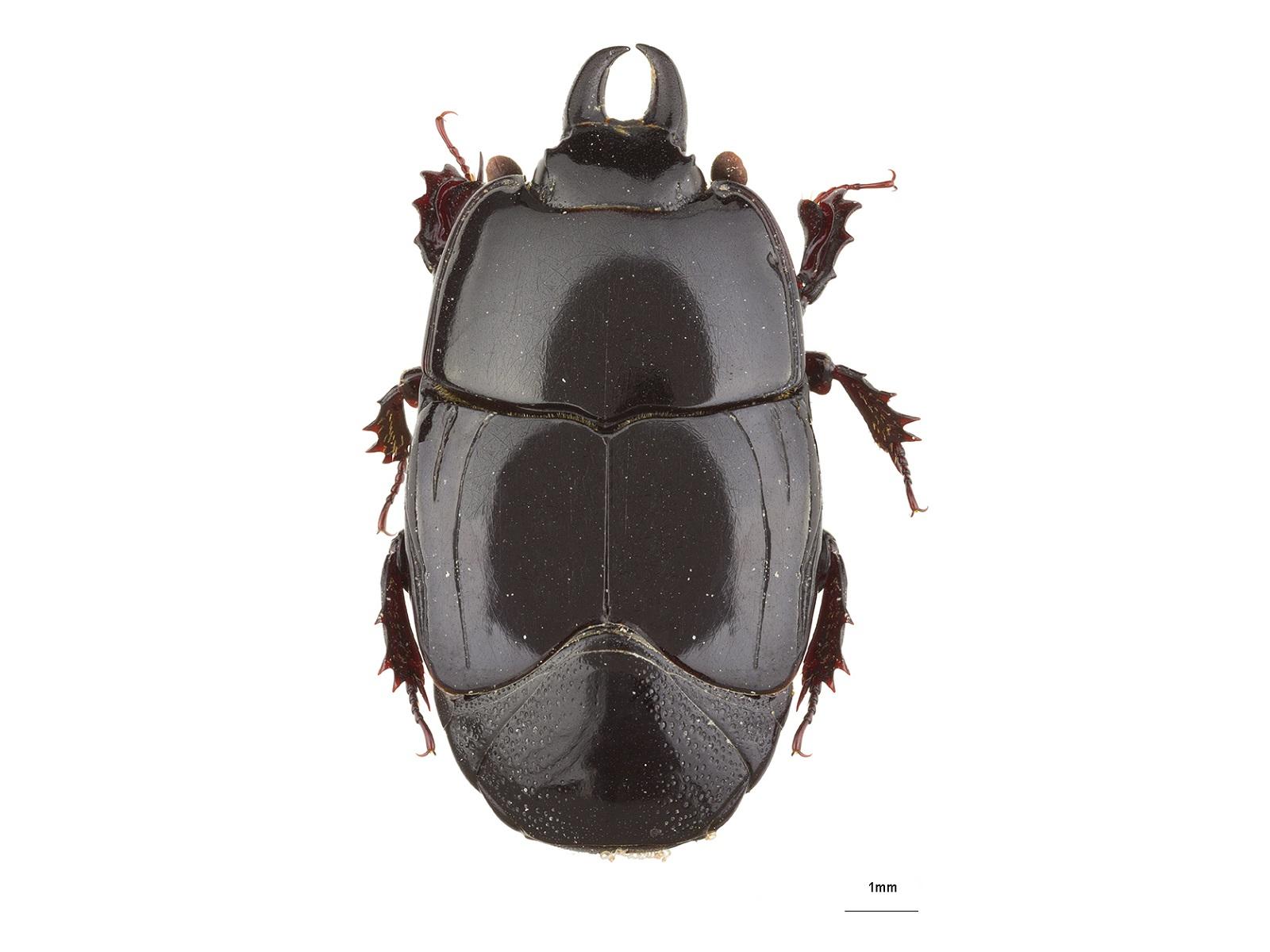 Hololepta spp.