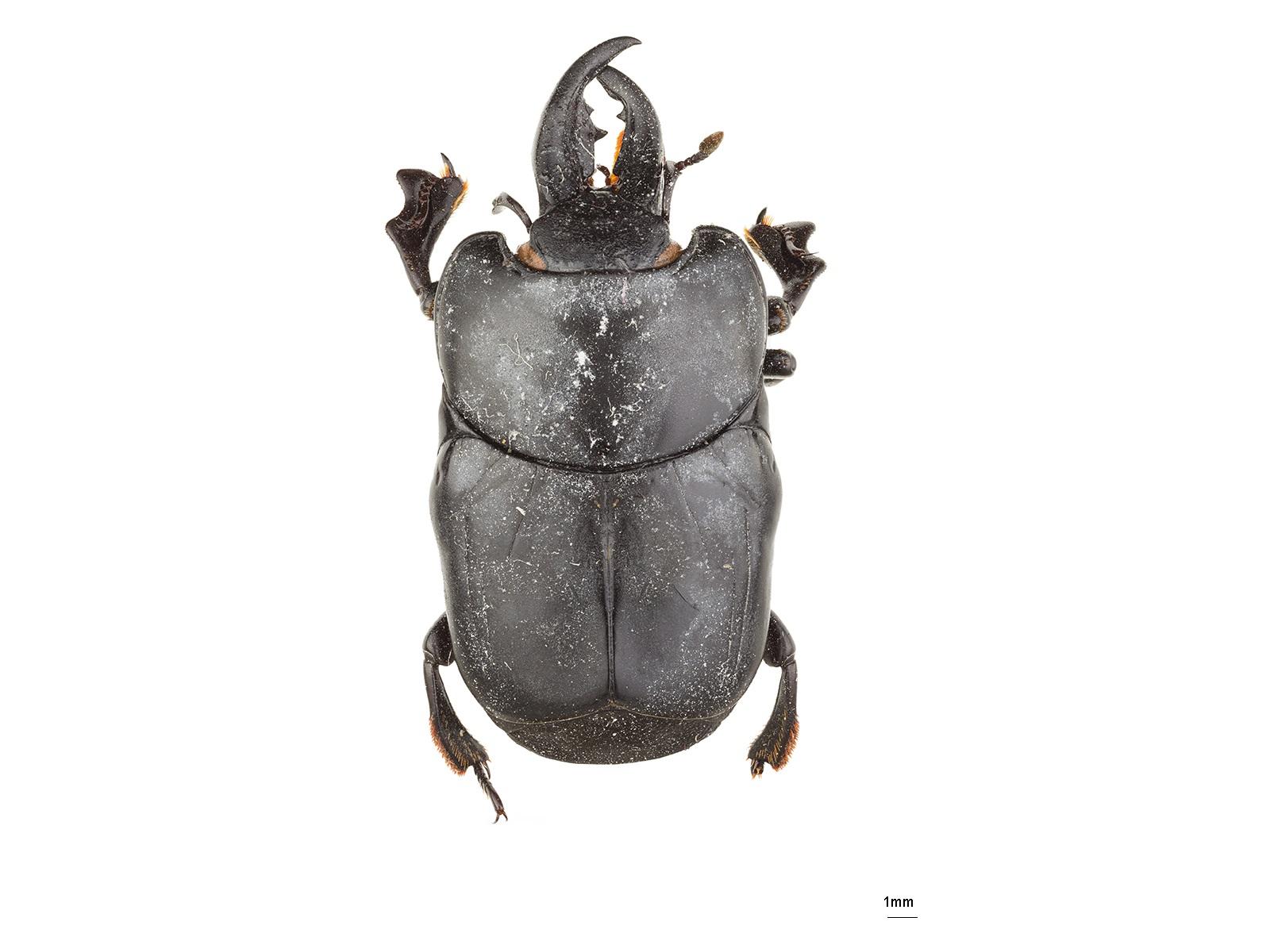 Oxysternus maximus (Linnaeus, 1767)