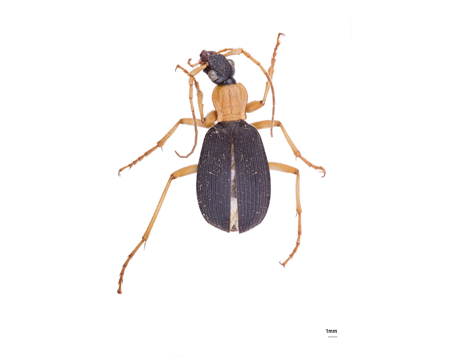 Galerita spp.