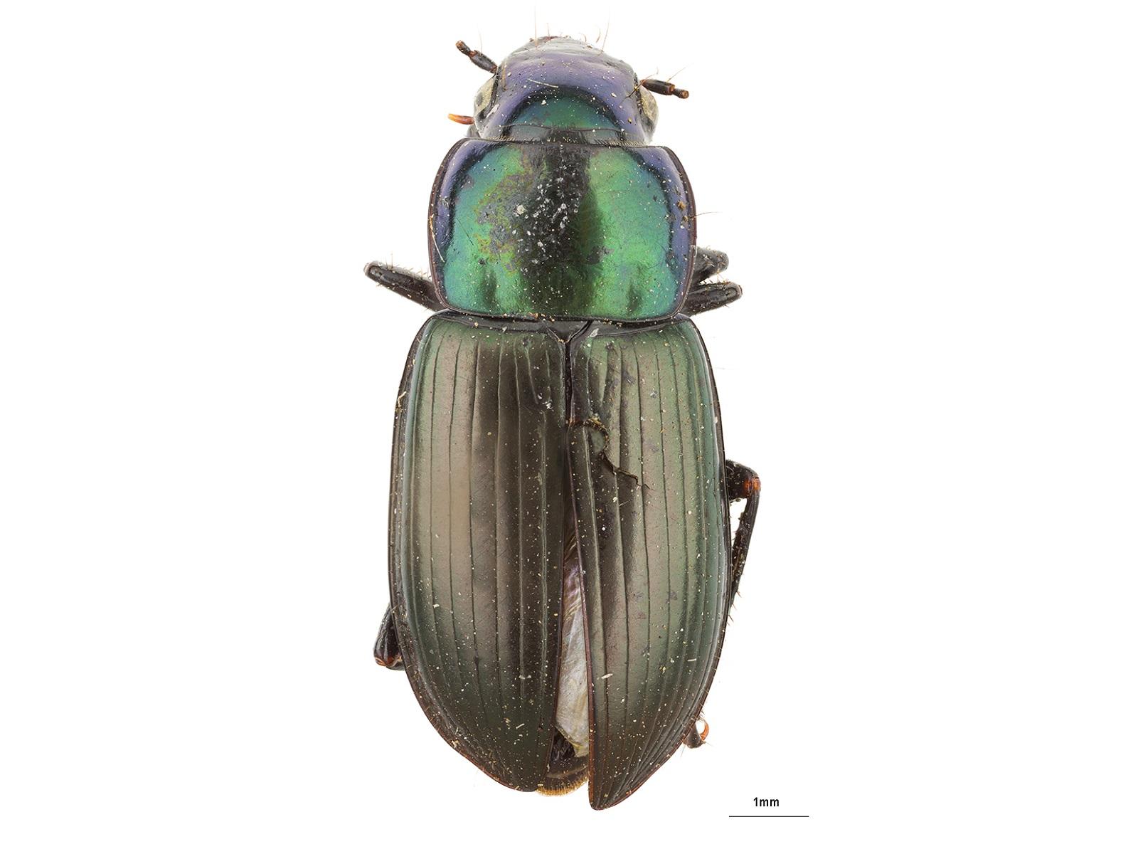 Notiobia spp.