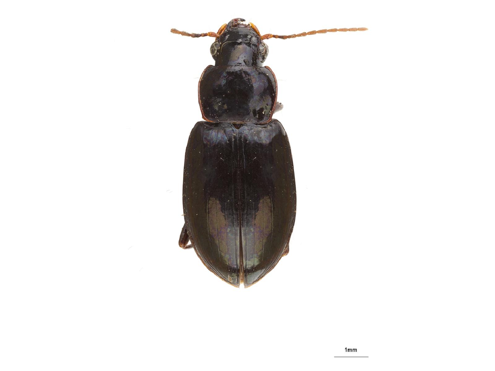 Pelmatellus spp.
