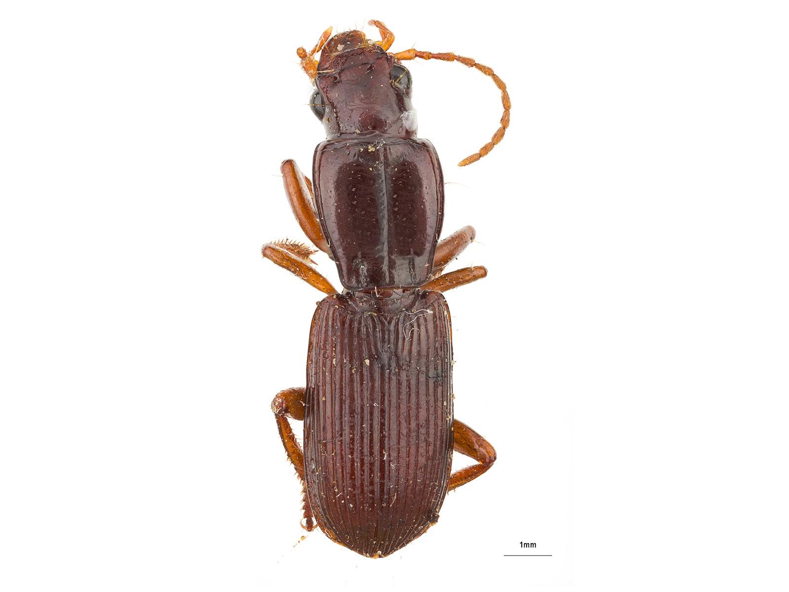 Stenomorphus spp.