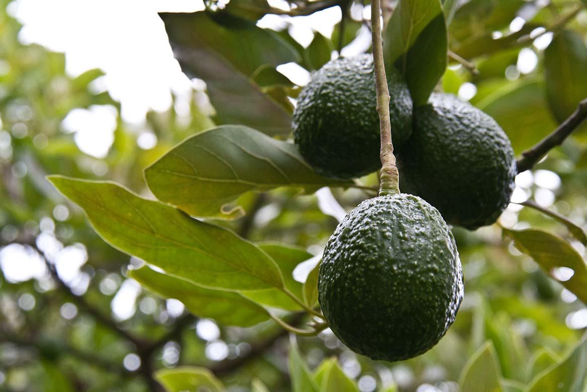 AGROSAVIA presenta la publicación Actualización tecnológica y Buenas Prácticas Agrícolas (BPA) en el cultivo de aguacate