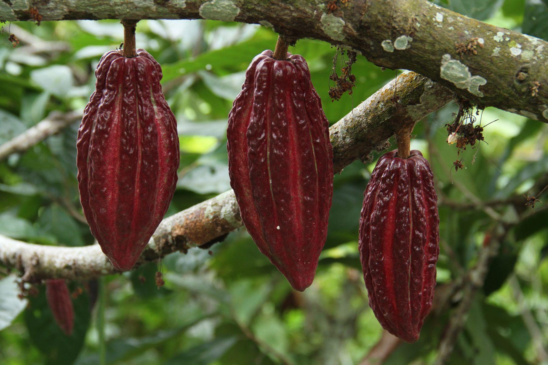 Clones de cacao AGROSAVIA para el fortalecimiento de las capacidades productivas de agricultores en el Tolima y Huila