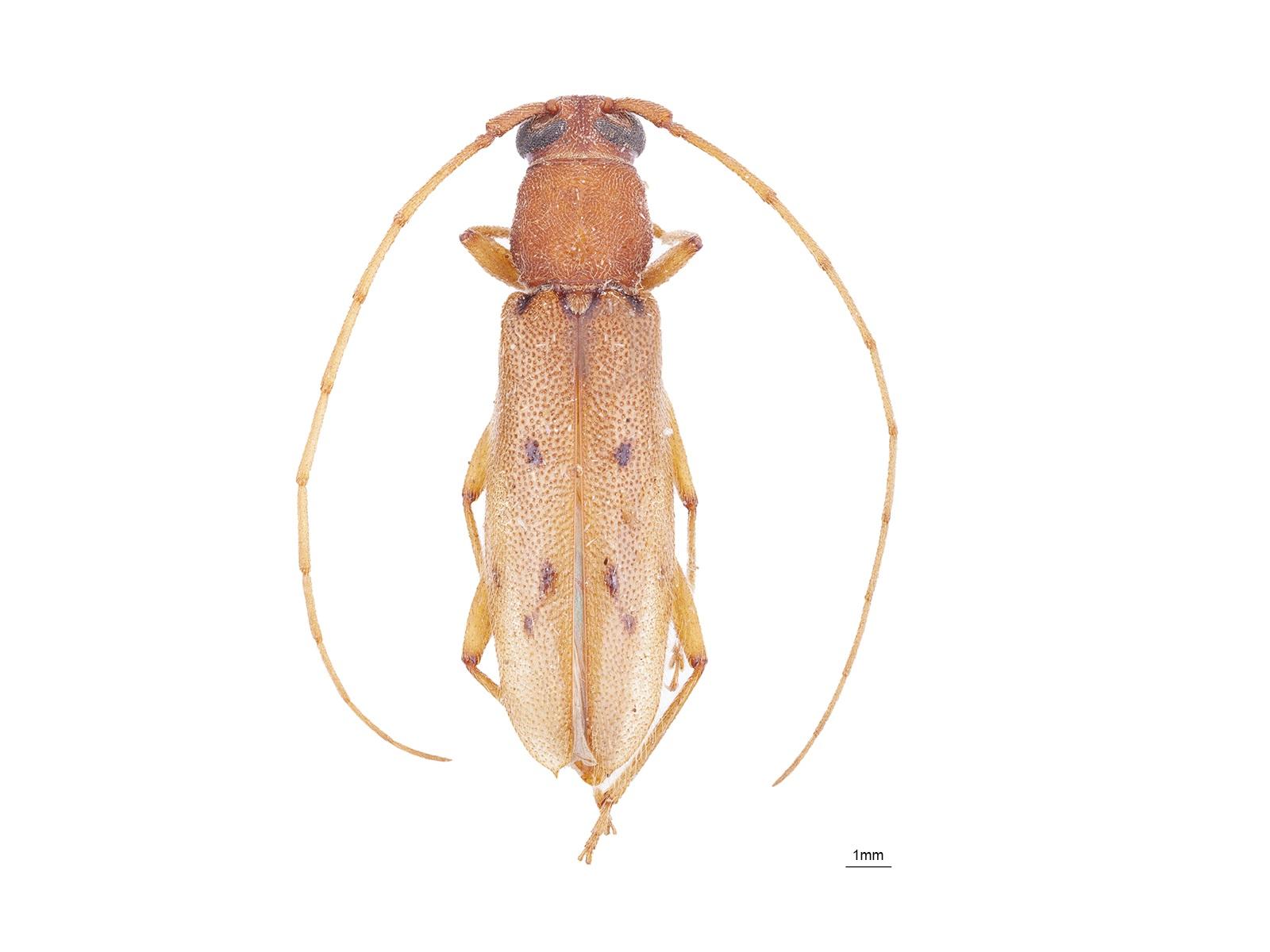 Achryson surinamum(Linnaeus, 1767)
