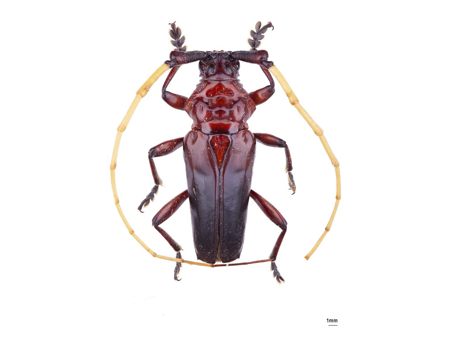 Ancylosternus morio(Fabricius, 1787)