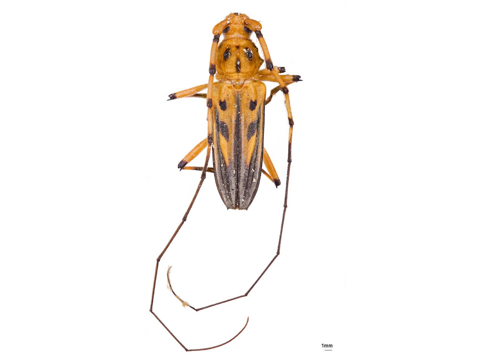 Ceragenia bicornis (Fabricius, 1801)