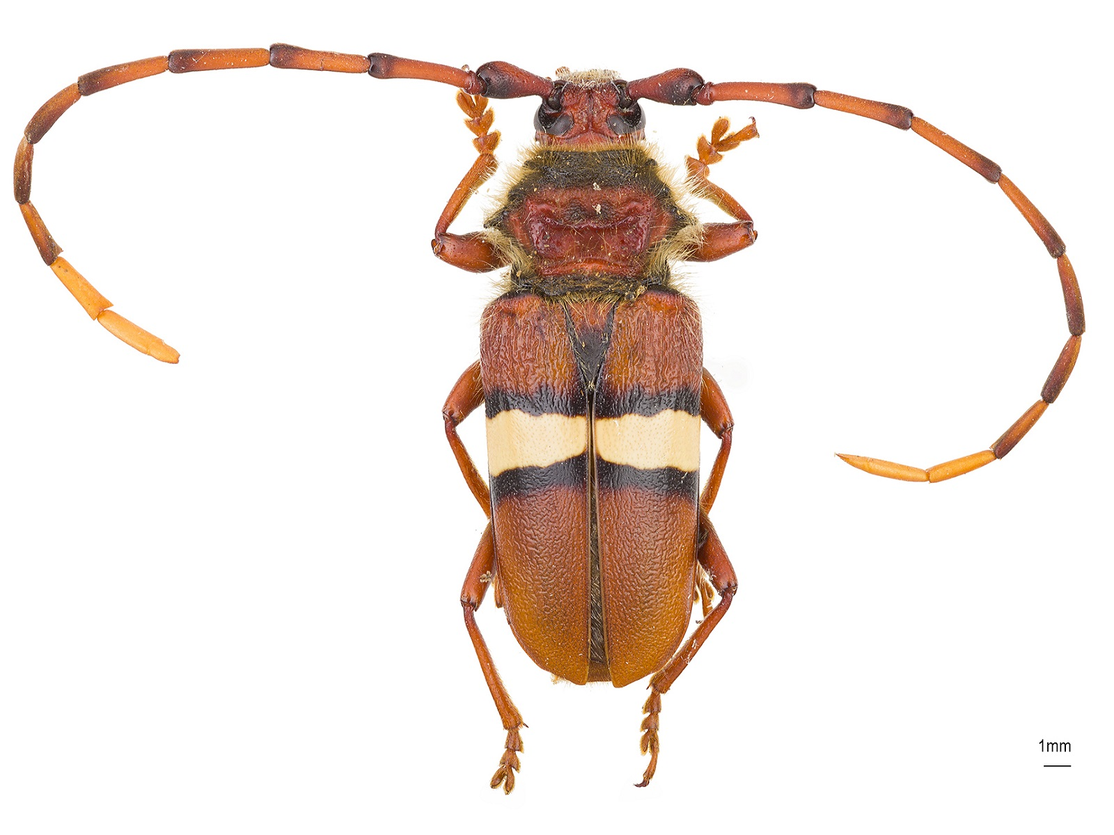 Deretrachys juvencus(Dupont, 1840)