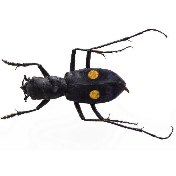 Carabidae2