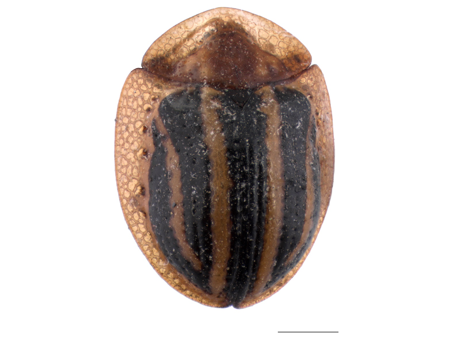 Metriona spp.