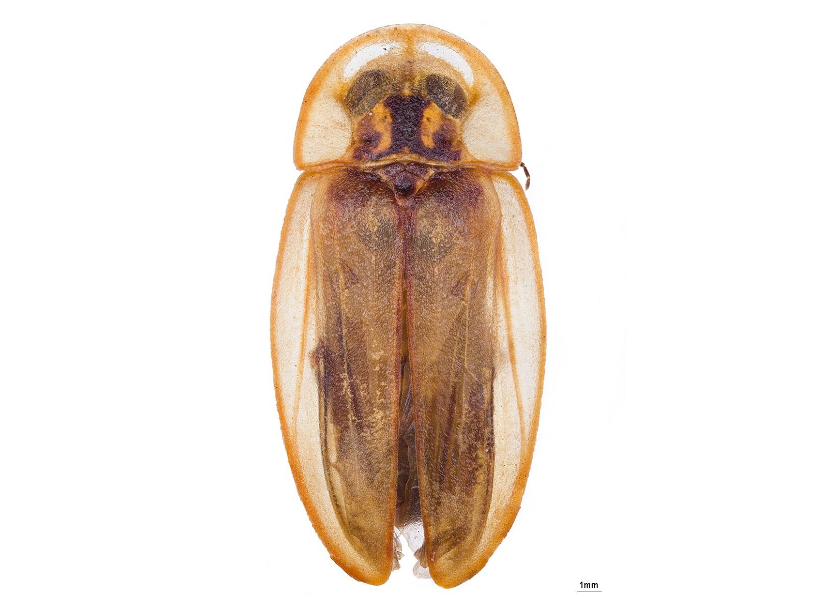 Cratomorphus bifenestratus Gorham, 1880