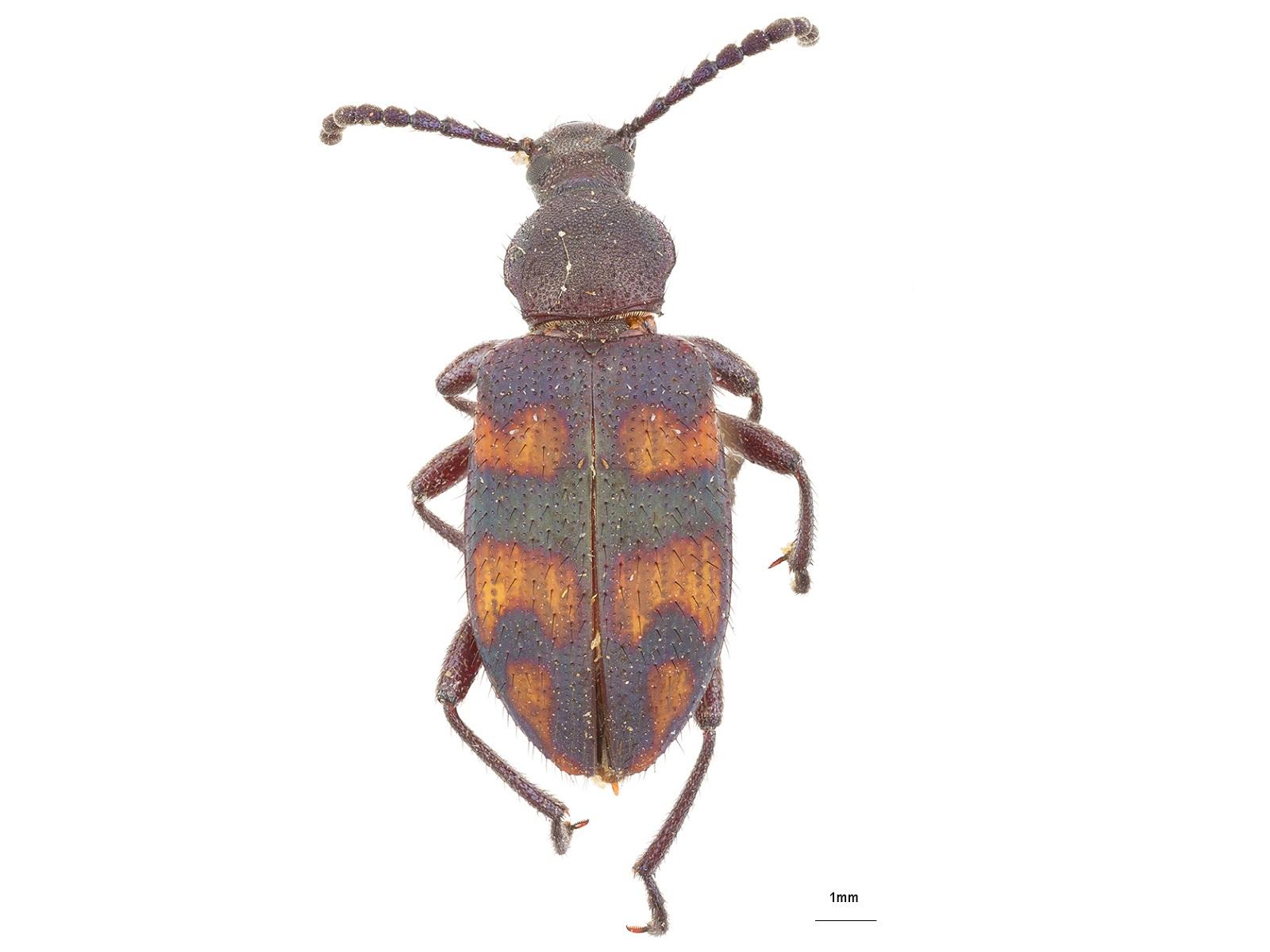 Lystronychus spp.