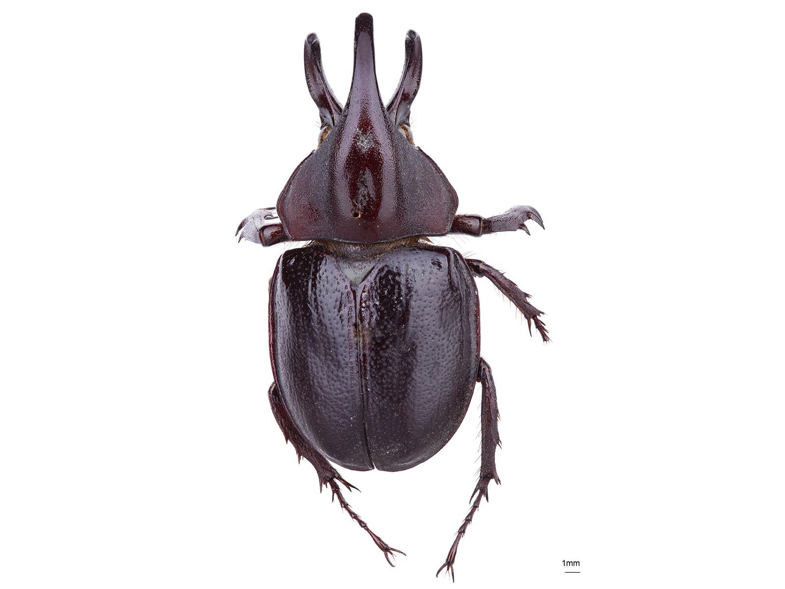 Aegopsis curvicornisBurmeister, 1847