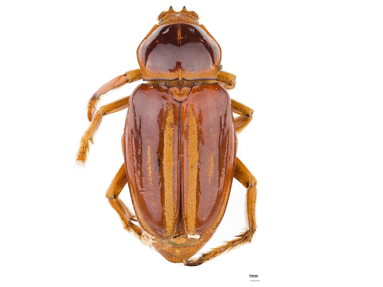 Ancistrosoma rufipes (Latreille, 1833)